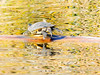 GilbertRP-Jan2015-1-36 (birdistheword1980) Tags: arizona reflection pond log nikon stuck turtle ripple gilbert migration ponds birdwatching basking lightroom redearedslider sunning nikoncoolpix waterturtle herping gilbertwaterranch riparianpreserve wintermigration riparianpreserveatwaterranch lightroom5 adecadebetween
