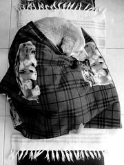 Bed Weather (Mark Obusan) Tags: winter dog pet cold cute love warm labrador sleep retriever mocha blanket devil awww akita tasmanian bedweather