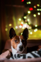"12.12 Raisin ""Alternative Christmas"" (jezandia) Tags: christmas dog basenji raisin 12monthsfordogs14 littledoglaughedstories"