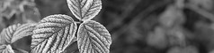 First Frost (music_man800) Tags: uk trees winter bw panorama white black cold ice scale nature monochrome leaves forest canon grey mono droplets leaf aperture woods flora focus pretty frost december natural bokeh walk united country banner gray wide freezing first kingdom chrome grayscale essex bramble greyscale 2014 hockley 700d