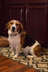 sofia's beagle (jojoannabanana) Tags: dog beagle 3652015