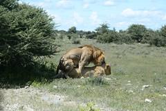 Mating Again (zenseas away at work) Tags: africa wild sex early lion safari lions mating roadside namibia etosha copulation panthera pantheraleo selfdrive namutoni etoshanationalpark chudopdrive