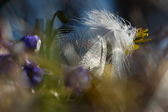 In the light (evisdotter) Tags: light macro nature spring bokeh feather blsippor sooc fjder