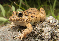 Japanese marsh frog-  Wide angle macrophotography (Okinawa Nature Photography) Tags: flashphotography amphibians kenko wideanglemacro lightandmotion onnavillage tokina1017mm canon70d canonoutdoors reptilesandamphibiansofokinawa frogsofokinawa shawnmmillerphotography wildlifeofokinawa gobe700