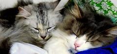 Friendship (Khaled M. K. HEGAZY) Tags: pink blue pet brown white black green animal closeup cat nikon feline egypt indoor cairo coolpix stray maadi p520 foffagingy