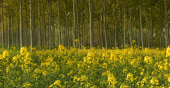 Spring (theSnoopyG - thanks for over 300.000 views!) Tags: flowers trees wild primavera nature yellow season landscape spring natura panoramic giallo bloom environment wildflowers sole paysage paesaggio fioritura stagione ranuncoli aberi