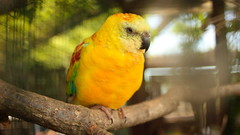 Lazy Singer (Stanislav Machacek) Tags: trip bird animal canon eos zoo flickr czech sunday parrot explore parakeet recent exposed southbohemia flickrphoto yellowbird flickrtoday strakonice hlubokanadvltavou canonphoto 400d czphoto canonamateur