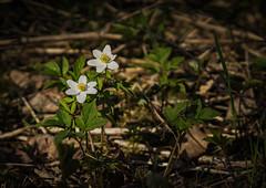 Anemone nemorosa (TribeChristals) Tags: mets ranta kevt kukka valkovuokko