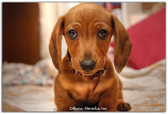 Salchichn de chocolate (Olivia Heredia) Tags: dog chien photoshop mexico perro cachorro perros doggy hdr highdynamicrange perrosalchicha chiots 1exp cdmx salchi oliviaherediaotero