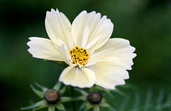 Petals (SteveJM2009) Tags: uk flower colour detail focus dof bokeh may dorset bloom holt cosmos stevemaskell 2016 naturethroughthelens