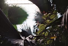Greenery (RoYaLHigHnEsS1) Tags: park kewgardens plant color canonav1 green london film leaves richmond palm iso greenhouse 200 agfa
