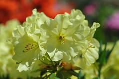 im Rhododendronhain (nirak68) Tags: deutschland blossom mai gelb rhododendron ericaceae blte ger rosenbaum rhododendren eutin 149366 heidekrautgewchs rhododendroideae schleswigholsteinkreisostholstein lgs2016 2016ckarinslinsede landesgartenschaueutin substategardenshow