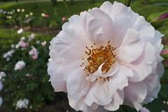 rose garden party_10 (tcd123usa) Tags: 2016rosegardenparty jaspercranerosegarden wilmingtondelaware leicadlux4