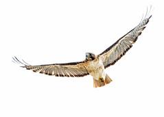 White Skies (Patricia Ware) Tags: california canon handheld birdsinflight redtailedhawk buteojamaicensis warnersprings whitesky specanimal ef500mmf4lisusm httppwarezenfoliocom 2016patriciawareallrightsreserved