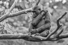 Apenheul meeting 2016 (<<<< peter ijdema >>>>) Tags: meeting apenheul primal 2016 gorillagorillagorilla laaglandgorilla