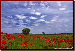 Primavera Roja (Antonio Zamora) Tags: flowers blue red sky espaa cloud paisajes naturaleza white flores flower color colour verde green primavera blanco nature colors weather azul clouds canon landscape eos landscapes spring spain rojo colours flor natura paisaje cielo nubes poppy poppies campo llanos nube lamancha llano poppie mancha castillalamancha llanura cauntry manchuela casasimarro eos7d antoniozamora manchuelaconquense