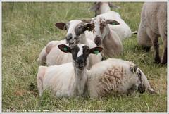 Stadskudde Grunn (Dit is Suzanne) Tags: 11062016 img9275 nederland netherlands  groningen  reitdiep ditissuzanne canoneos40d wandeling walk   summer zomer stadskudde stadskuddegrunn schaap sheep  stadskuddegroningen views50