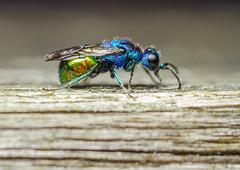Pseudomalus auratus cuckoo wasp (markhortonphotography) Tags: blue macro green insect gold wasp surrey identification hymenoptera deepcut surreyheath cuckoowasp pseudomalusauratus markhortonphotography thatmacroguy