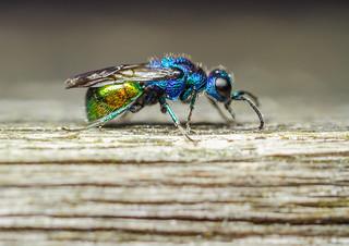 Pseudomalus auratus cuckoo wasp