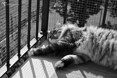 _DSC7698bw (chiaratrevisan68) Tags: cats sun nuvole cielo sole gatto domestici animali zampa siberiano
