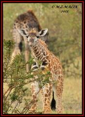 BABY MASAI GIRAFFE (Giraffa camelopardalis tippelskirchii)....MAASAI MARA.....SEPT 2015 (M Z Malik) Tags: africa nikon kenya wildlife safari kws masaimara d3x exoticafricanwildlife 200400mm14afs