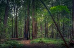 Muir Woods (Juan Pablo J.) Tags: sanfrancisco park trees nature trail muirwoods redwood naturephotography sonya580