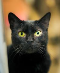 The plea (Arutemu) Tags: pet pets blur face animal animals cat blackcat feline dof bokeh f14 kitty    petportrait   animalportrait