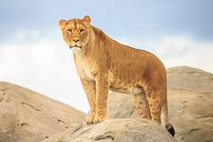 Beautiful african lioness (Cynthia ten Bras Photography) Tags: africa nature netherlands zoo wildlife lion natuur wildanimal lioness naturephotography africanlion wildlands greatphotographers wildlifephotography zoophotography canonnl canonefs55250mm canoneos600d wildlandsadventurezooemmen