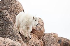 Goat (mhawkins) Tags: mtevans