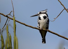 Pied Kingfisher (F) (Explored 06/14/2016) (JDA-Wildlife) Tags: africa nikon explore johnny uganda explored kingfisherpied nikond7100 tamronsp150600mmf563divc jdawildlife ugandaafrica2016 whatbirdugandaafrica