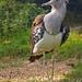 Kori bustard, one of the largest flying birds