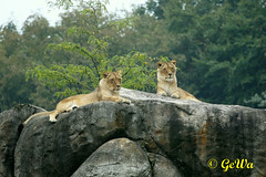 Afrikanische Lwinen (Geralds-Raubtiere) Tags: zoowuppertal afrikanischerlwe flickrbigcats