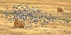 Da casa mia - From my house (Explore  2014-10-29  #179) (Jambo Jambo) Tags: italy birds italia pigeons uccelli tuscany toscana grosseto maremma piccioni nikond5000 jambojambo