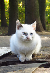 Homeless with blue eyes (AzIbiss) Tags: kokino animals cat homeless bryansk portrait canon powershot sx50 canonsx50 animal blue white loneliness outdoor amateur canondigital hyperzoom kittysuperstar canonphotography pet 500v20f salient