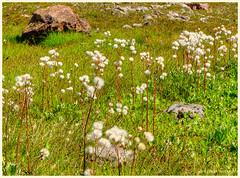 Mountain Puffs (ScottElliottSmithson) Tags: wild flower green nature canon eos washington northwest meadow puff nationalforest alpine cascades 7d pacificnorthwest washingtonstate wildflower puffy cascademountains cascaderange alpinemeadow usnationalforest mtbakersnoqualmienationalforest eos7d dtwpuck scottsmithson scottelliottsmithson