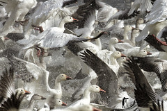Oies des neiges / snow geese (Luc Parent) Tags: lake snow water birds geese crowd group off parent depart envelope take neige luc foule scared groupe peur oies frighten duobjectif approuv