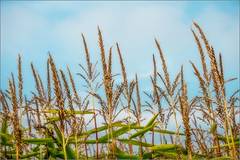 Corn Sky Orton effect (mikeyp2000) Tags: blue summer sky field corn focus warm soft harvest sunny bluesky sharp crop stems orton a6000 selp1650