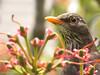 impatience feathered (birdcloud1) Tags: blackbird femaleblackbird turdusmerula rhododendron bird spring amandakeoghphotography amandakeogh birdcloud1 nature wildlife sx10is canonpowershotsx10is canon overtheexcellence flickersbest aotearoa