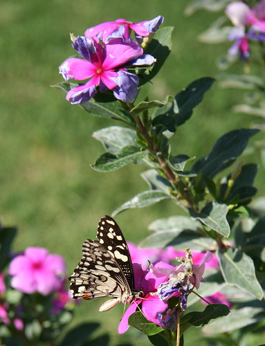 20141001_5995 butterfly and pink flowers