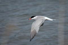 DSC_3156 (P2 New) Tags: france bretagne date animaux juillet pays oiseaux lorient 2014 sternepierregarin maraisdepenmané