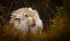 Winter Is Coming (markrellison) Tags: winter wild white animal animals mammal iso3200 hare northwest unitedkingdom britain wildlife derbyshire peakdistrict peak wintercoat f80 lightroom winteriscoming 600mm mountainhare lepustimidus 11250sec lr4 canoneos5dmarkiii lightroom4 ef300mmf28lisusm2xiii