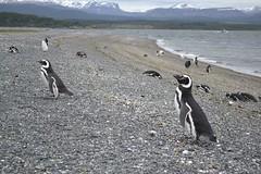 Penguin - Ushuaia (Denis Uni!) Tags: patagonia argentina tierradelfuego ushuaia penguin pinguim patagoniaargentina pinguinera findelmundo fimdomundo terradofogo islamartino