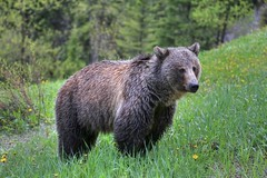 A Grizzly Sow (westrock-bob) Tags: bear park wild brown canada hot nature wet grass animal female canon photography eos photo spring bc respect image pics mother picture pic columbia dandelion national photograph springs strong british grizzly predator majestic solitary radium kootenay sow claws allrightsreserved ursus 6d silvertip ursusarctoshorribilis bctourism britishcolumbiatourism canon6d respectfornature westrockbob canoneos6d bobcuthillphotographygmailcom bobcuthill