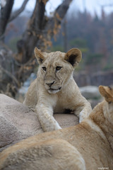 Lion (ray2pixel) Tags: nikon lion korea safari themepark everland 2014 d610