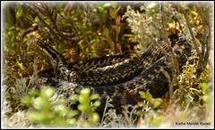 A female adder. (kathemeretekjets) Tags: adder evje huggorm