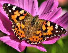 Painted Lady 009 (saxonfenken) Tags: 6858but 6858 paintedlady butterfly aug2009 pinkflower dof pregamesweep herowinner gamewinner duel challengeyouwinner friendlychallenges