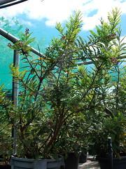 Lomatia tasmanica potted specimen (dracophylla) Tags: endangered proteaceae royaltasmanianbotanicalgardens criticallyendangered lomatia arfp lomatiatasmanica trfp kingslomatia cooltemperatearf mixedaf rtbgarfp