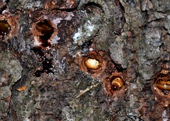 conifer borers (laurie_frisch) Tags: bug insect cool interesting insects iowa bugs trunk trunks behavior larvae overwintering conifers larva conifer borer borers behsvior