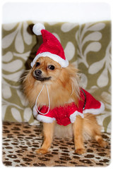 Xmas coat, Boo the Pomeranian. (CWhatPhotos) Tags: pictures christmas camera xmas red portrait dog pet brown cute wearing hat animal digital canon that eos prime photo pom eyes sitting foto image photos dwarf coat sandy picture down images boo have fotos sit 7d 60mm pomeranian which spitz f28 contain pompom zwergspitz cwhatphotos ldlportraits thelittledoglaughedportraits ldlnoir dwarfspitz