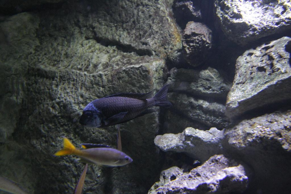 The World 39 S Best Photos Of Aquarium And Tropheus Flickr